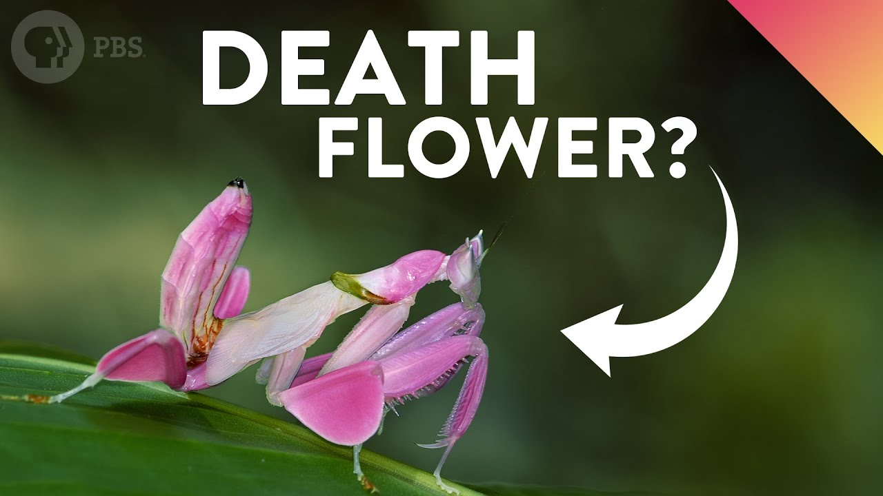 Why Do These Deadly Insects Look Like Flowers?