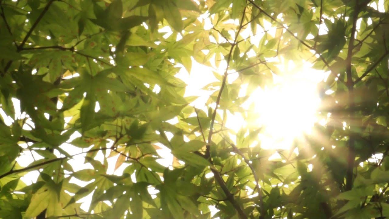 Trees in Sunlight - Free Stock Footage HD - YouTube