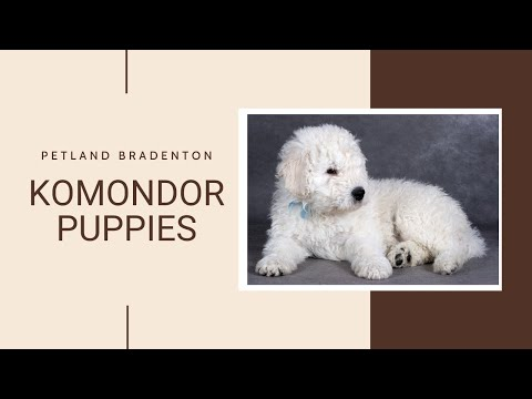 Komondor Fun Facts