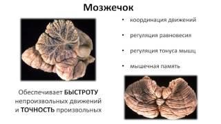 6. Нервная система головной мозг (8 класс) биология, подготовка к ЕГЭ и ОГЭ