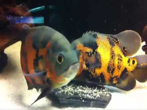 Cá Tai Tượng Châu Phi Đẻ Trứng - Thiên Đường Cá Cảnh
