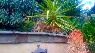 Bengal Cats Hunting Rabbits (kill Da Wabbit)