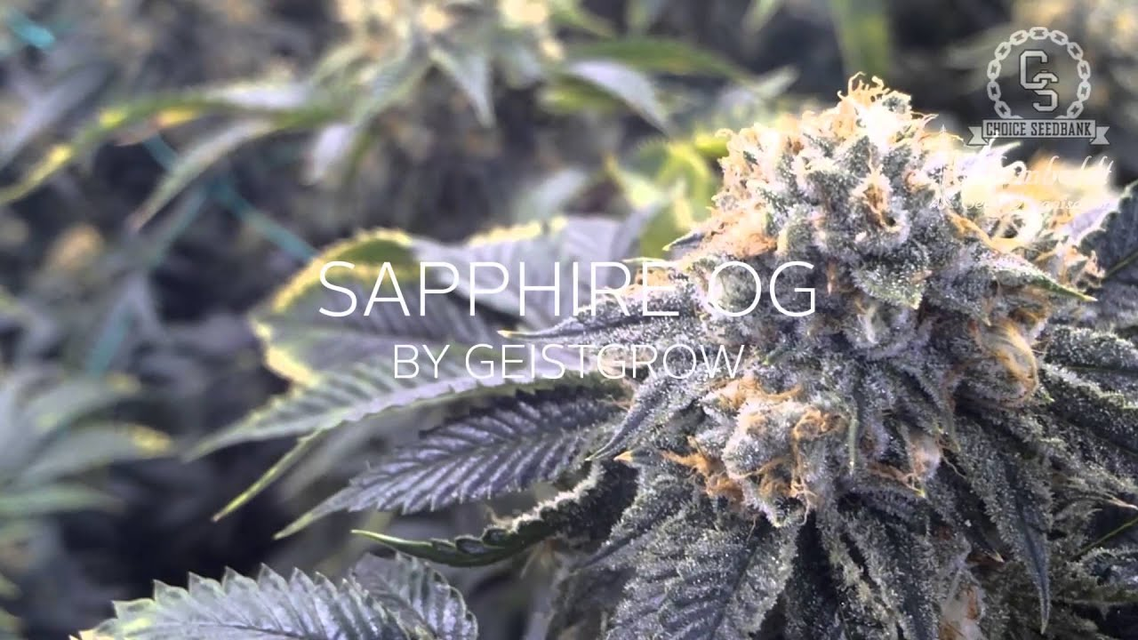 NEW STRAINS FROM HSO - BLACK D O G AND SAPPHIRE OG