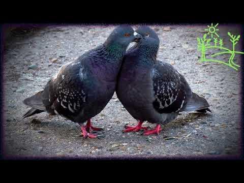 Голоса птиц Как поёт Сизый голубь (Columba livia)