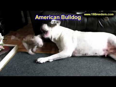American Bulldog, Puppies, For, Sale, In, Philadelphia, Pennsylvania, PA, Borough, State, Erie, York
