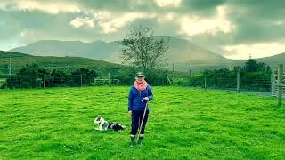 Training Zack, Our Blue Merle Border Collie, for Sheep Herding