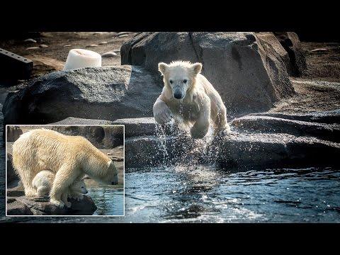 Watch Adorable Polar Bear Cub Join Mom In Pool