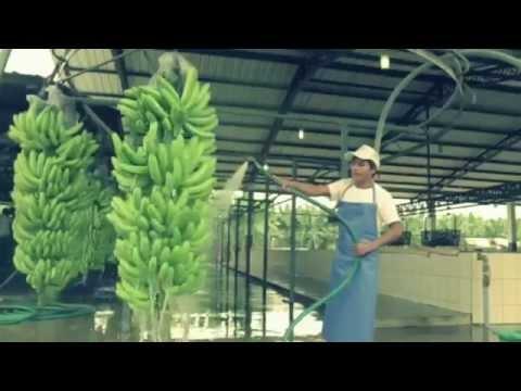 DERBY  bananas ® |  Ecuadorian BEST quality banana to the World !