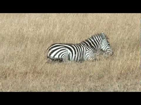 Masai Mara Documentary - Zebras at the wide plains of Masai Mara