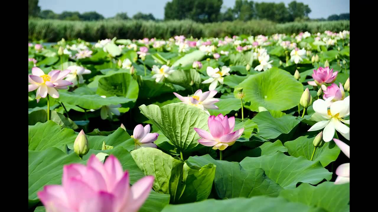 Meravigliosa fioritura dei fiori di loto sul lago for Disegni di laghi