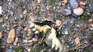 説明キアゲハの蛹から羽化し、上手く羽が開かずに失敗し、地面のバタバ...