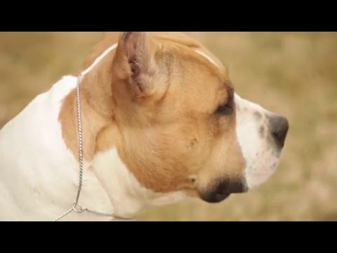 AMERICAN STAFFORDSHIRE TERRIER:  A DOG LOVER'S INTRODUCTION