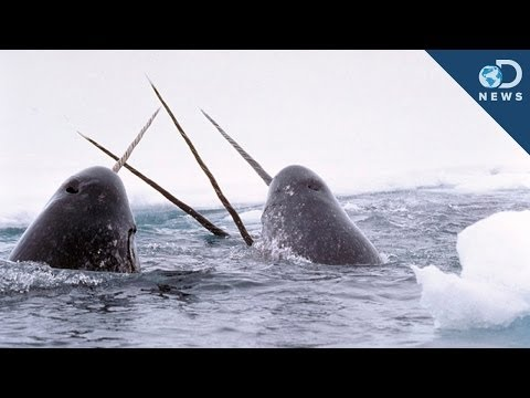 Amazing Facts About The Narwhal Tusk!
