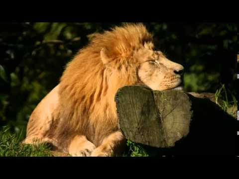 African Wildlife Sounds, Wildlife Noises, Elephant and Lion Sounds, Wilderbeest and Zebra's