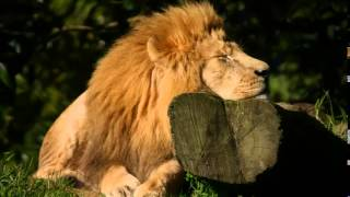African Wildlife Sounds, Wildlife Noises, Elephant and Lion Sounds, Wilderbeest and Zebra