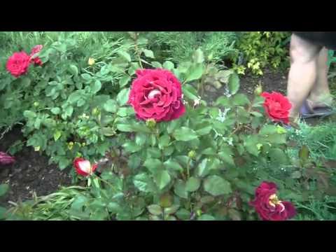 Розы. Сорта.