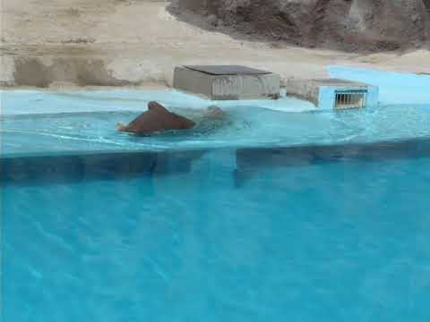Pacific walrus in captivity
