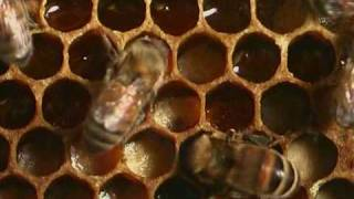 Honey Bees - Natural History 1