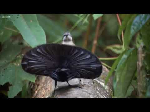 Superb bird of paradise: Vogelkop vs Lophorina superba