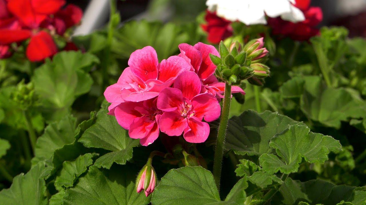 Pelargonie Jak Sadzic Zeby Dlugo Rosly Kwiaty Na Balkon I Taras Youtube