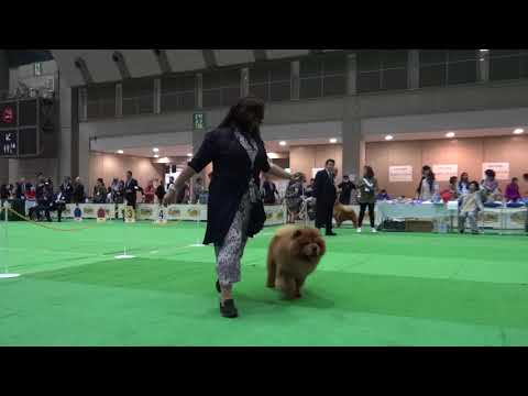FCI INTERNATIONAL SHOW Chow Chow Breed