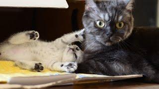 Шотландские котята скоттиш-страйты и фолды Scottish kittens Scottish folds and straights