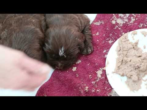 Sussex Spaniel Puppies first solid meal