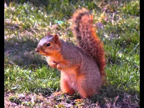 Squirrel Facts - Facts About Squirrels - YouTube