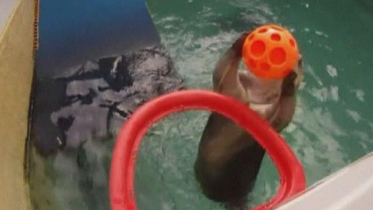Sea otter 'Eddie' plays basketball and slam dunks at Oregon Zoo