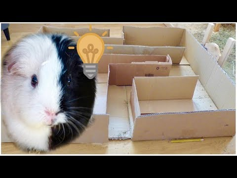 A Maze for the Guinea Pigs
