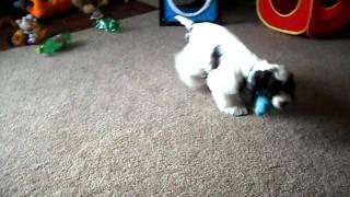 Merle Cocker Puppy
