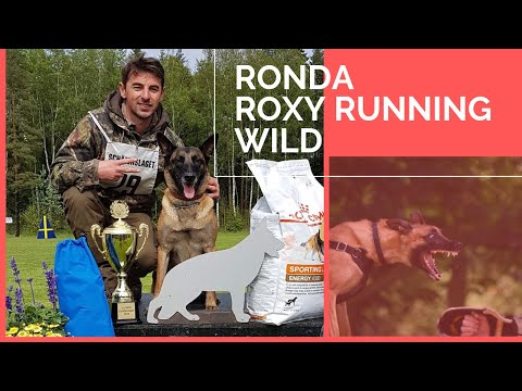How to train a dog for IGP competition : Ronda ( belgian malinois ) & Viorel Scinteie