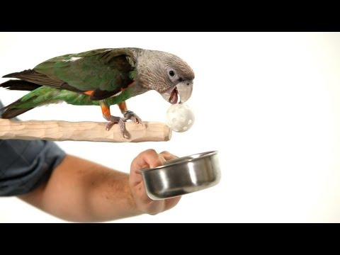 Teach Your Parrot to Fetch from a Perch | Parrot Training
