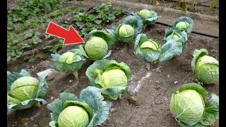Вот что нужно делать чтобы капуста завязывалась всегда! Почему не завязалась капуста?