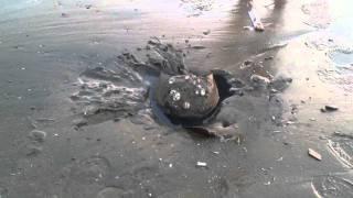 Horseshoe Crab On Tybee