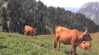 Troupeau de vaches tarines dans la Grande Chartreuse  .MOD