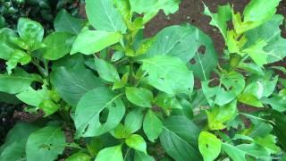 Promising Healing Herbs added in Cannabis based Herbal Formulations. Part-31 © Pankaj Oudhia