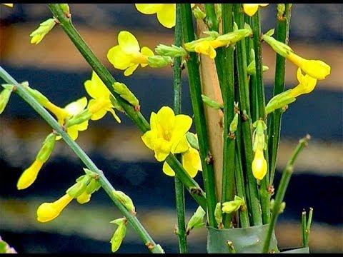 Planter un jasmin d 39 hiver youtube - Taille jasmin d hiver ...