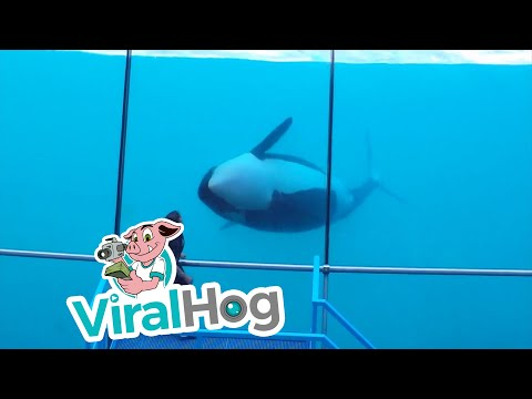 This orca puts on a performance in Marineland