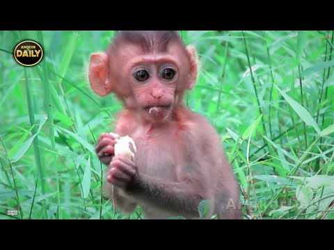 Thumbnail: Wow Incredible!! Pig-Tail baby Monkey is Clever... Angkor Daily 525
