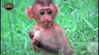 Wow Incredible!! Pig-Tail baby Monkey is Clever... Angkor Daily 525