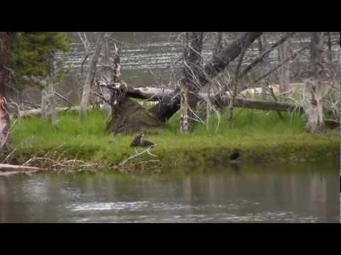 Super Cute Baby Otter Eating Fish - Yellowstone National Park