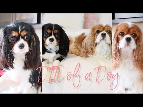 DAY IN THE LIFE OF A CAVALIER KING CHARLES SPANIEL | DOGS LIFE