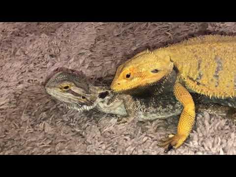 Bearded Dragons Mate