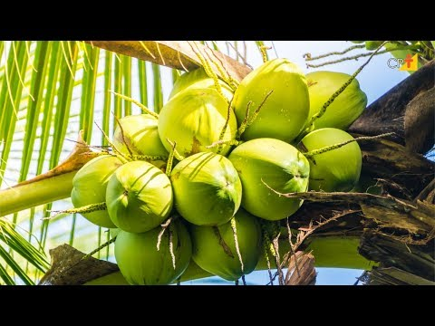 Clique e veja o vídeo Curso a Distância Produção de Mudas de Coqueiro Anão e Híbrido