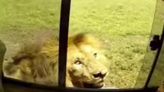 🔴Dumb 'Tourist' takes a chance with lion,in game reserve😱