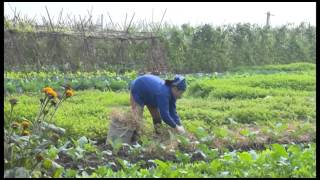 Mô hình sản xuất rau hữu cơ thành công (video 1)