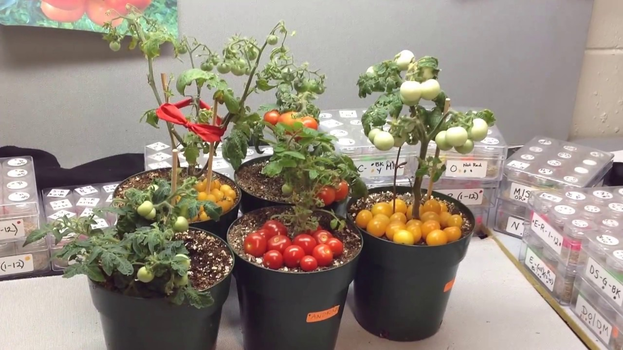 Micro Dwarf Tomato Plants Perfect For Small Spaces Youtube