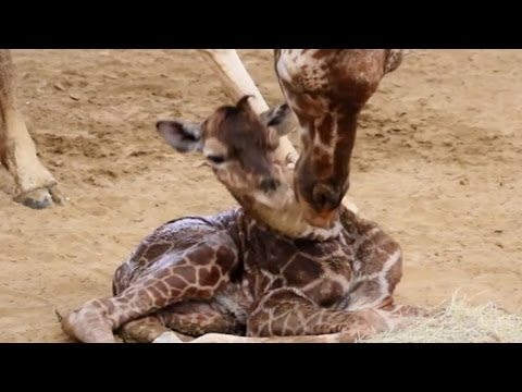 Thumbnail: 3 Month Old Giraffe Snaps Its Neck In Dallas Zoo