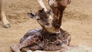 3 Month Old Giraffe Snaps Its Neck In Dallas Zoo
